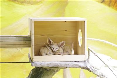 小熊猫,梅花鹿,小浣熊……日前,位于解放碑临江门的大耳朵口袋动物园